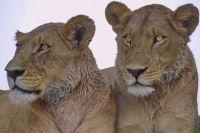Lionesses. Buffalo Alert