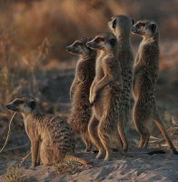 Morning Meerkats