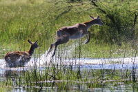 Red Lechwe. In their Element
