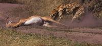 Cheetah at Work