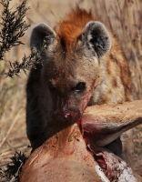 Hyena Triumph