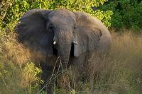 Advancing Elephant
