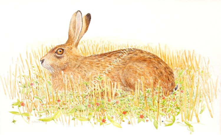 Brown hare and scarlet pimpernel