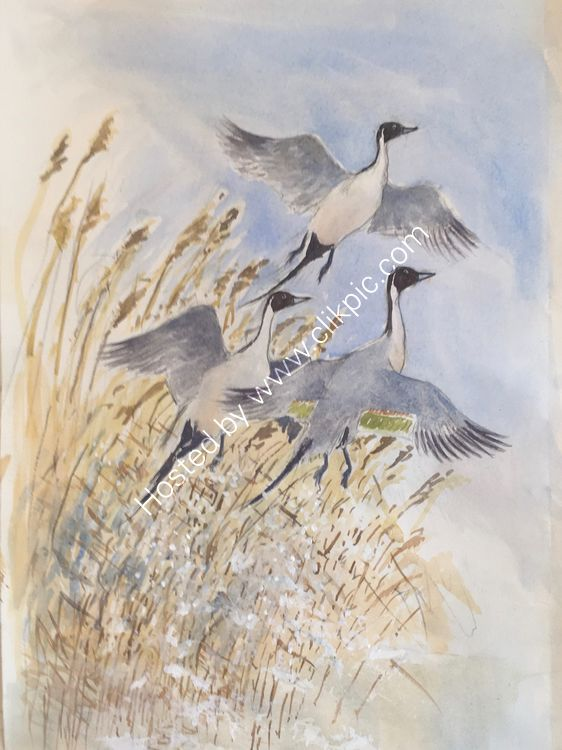 Pintail lift off - colour added to sketch ready for final watercolour painting