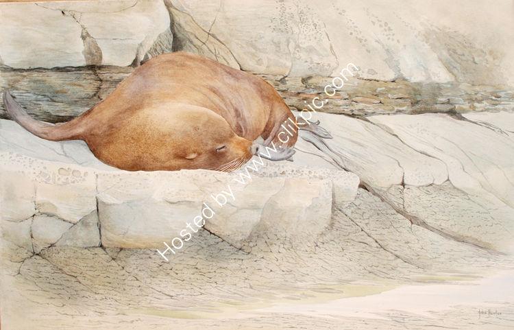 New Zealand fur seal - Kaikoura
