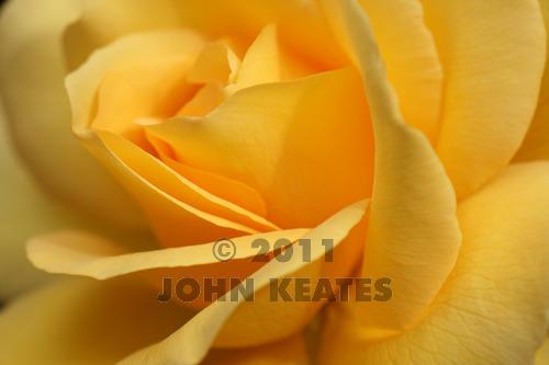 A hybrid tea rose flower