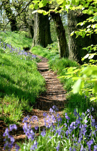 Bluebells and Beech trees, target Wood, Stoke-on-Trent