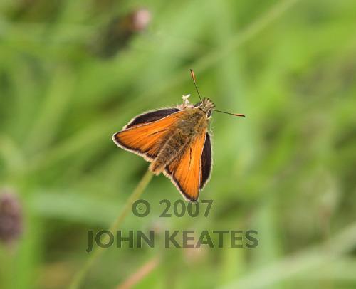 A Small Skipper butterfly