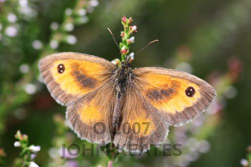 A Gatekeeper butterfly