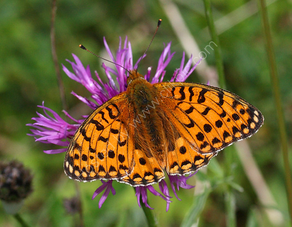 A Pearl Bordered Fritillary butterfly