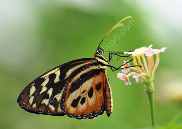 A Longwing Butterfly
