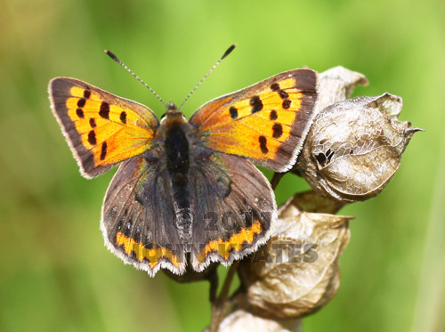 A Small Copper butterfly