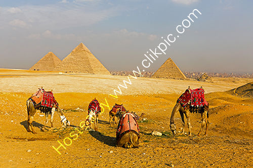 Camels infront of the Pyramids at Giza, Egypt