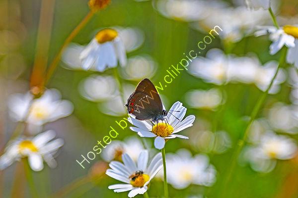 An Ilex Hairstreak butterfly