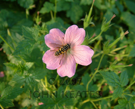 Drone Fly on wild Geranium