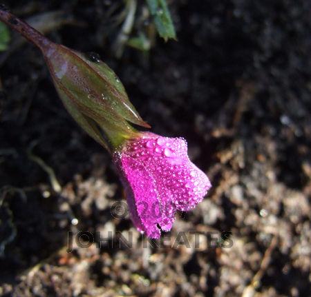 Frosty Primula