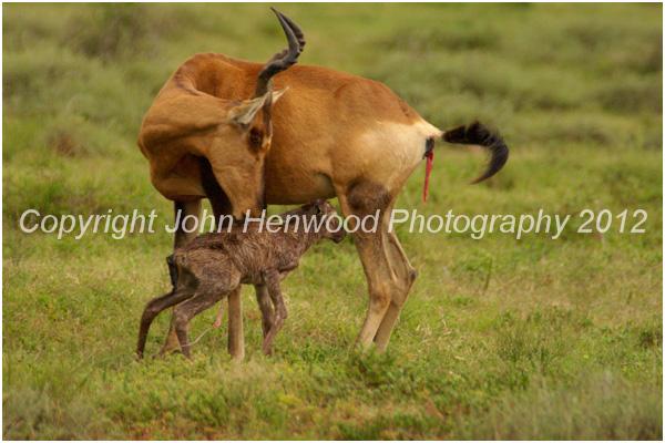 Red Hartebeest Cow with newborn calf