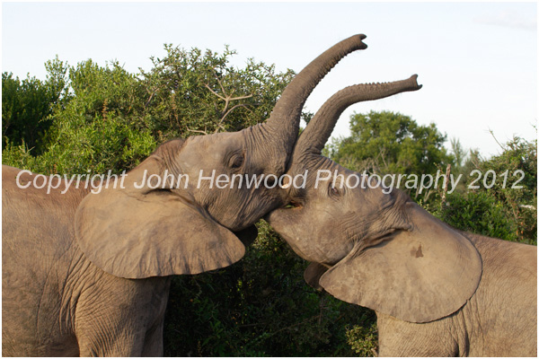 Young Elephants Sparring