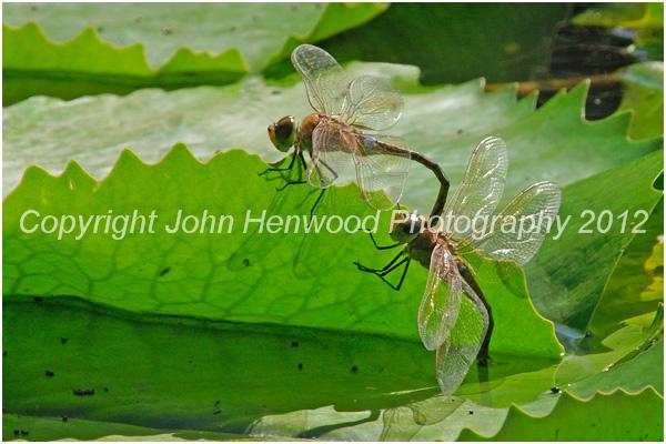 Black Percher Dragonfly