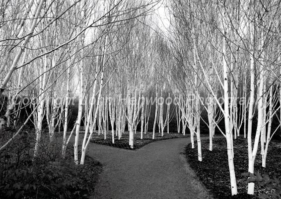 Silver Birch, Betula utilis var jacquimontii