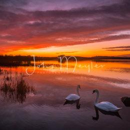 SPJ-3The swans of Ballyalla