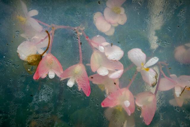 Begonias behind Glass