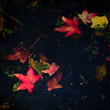 Leaves of Liquidamber