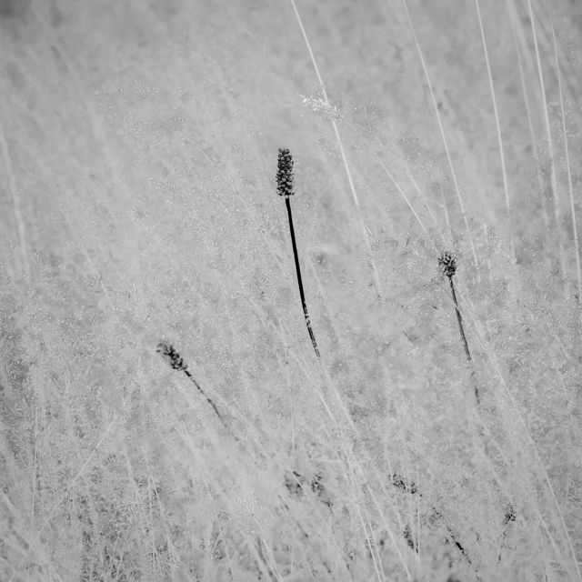 Meadow Grasses and Sedge