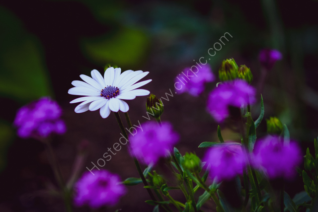 Osteospermum with Verbena