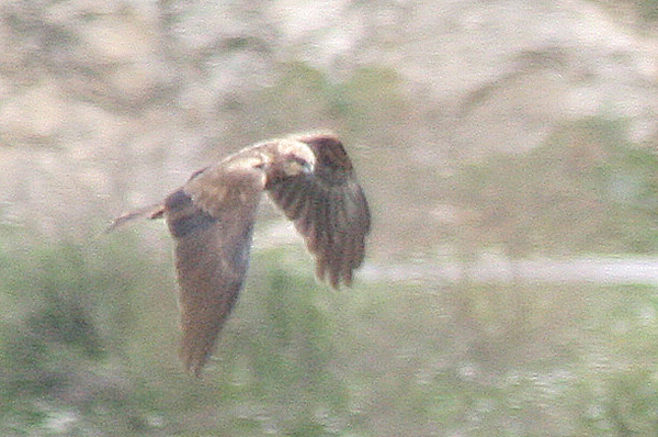 Marsh Harrier - (Circus aeruginosus)