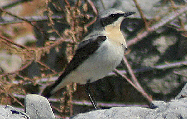 (Northern) Wheatear (Oenanthe oenanthe) IV
