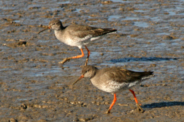 0085 IMG 3414 Redshanks