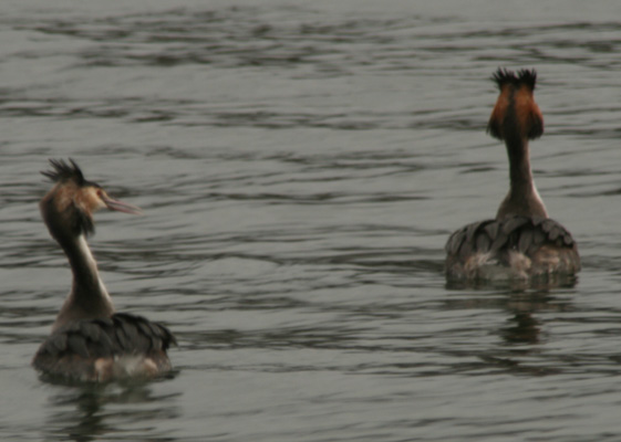 Great Crested Grebes Podiceps cristatus