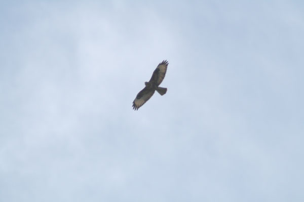 ? White-tailed Eagle