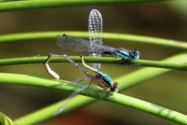 IMG 3549 Blue-tailed Damselfly pair with rufescens female