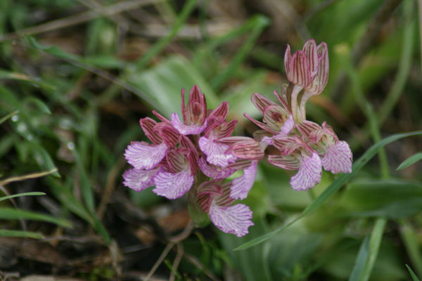 probably Orchis morio (Orchidaceae)