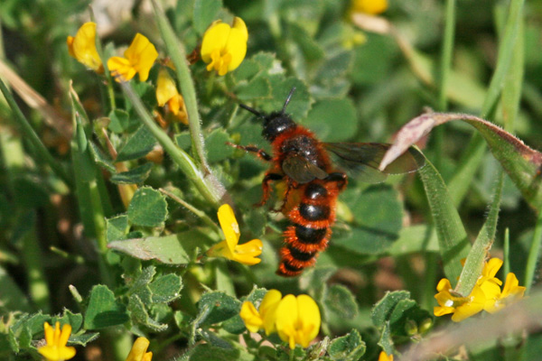 Field Digger Wasp (possibly)