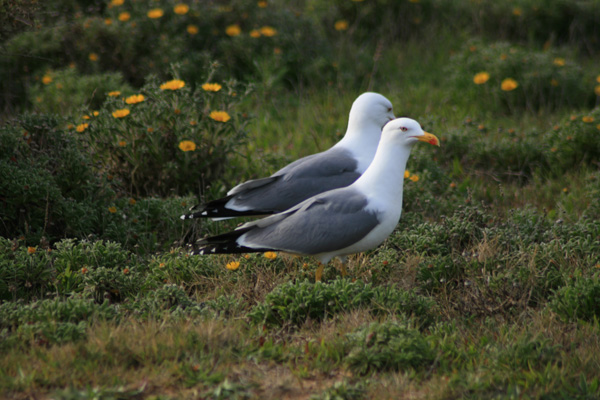 Strutting Yellow-legged Gull (Success)