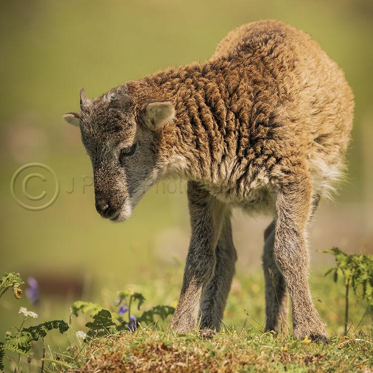 0001 Soay Lamb