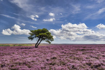 0106 Heather in Bloom