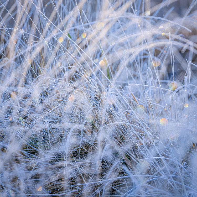 0129 Frozen Grasses Strensall Common