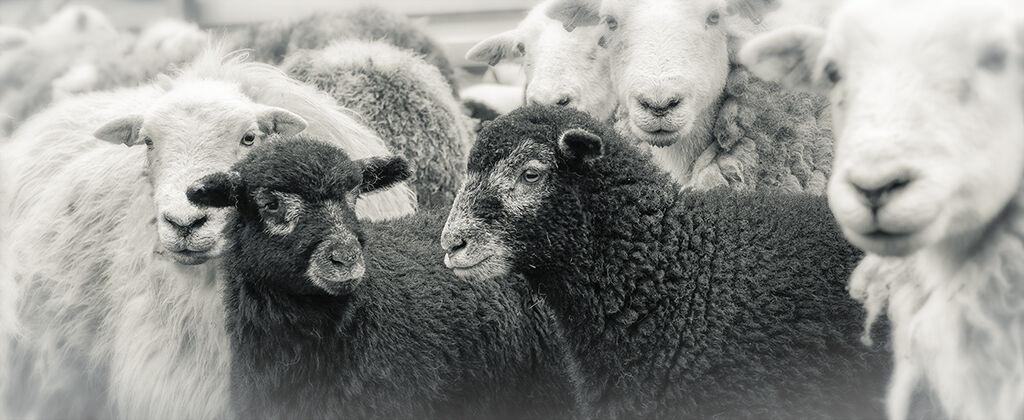 0277 Herdwick Lambs Cumbria