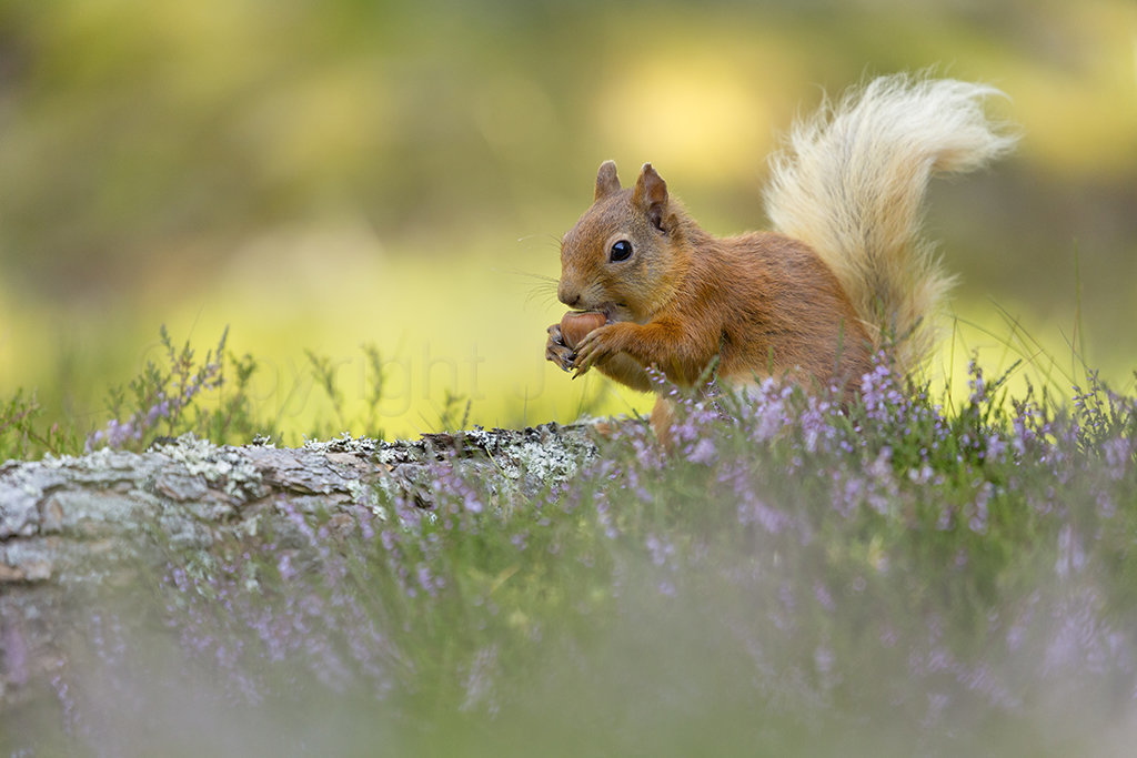 0329 Red Squirrel Carr-bridge Scotland