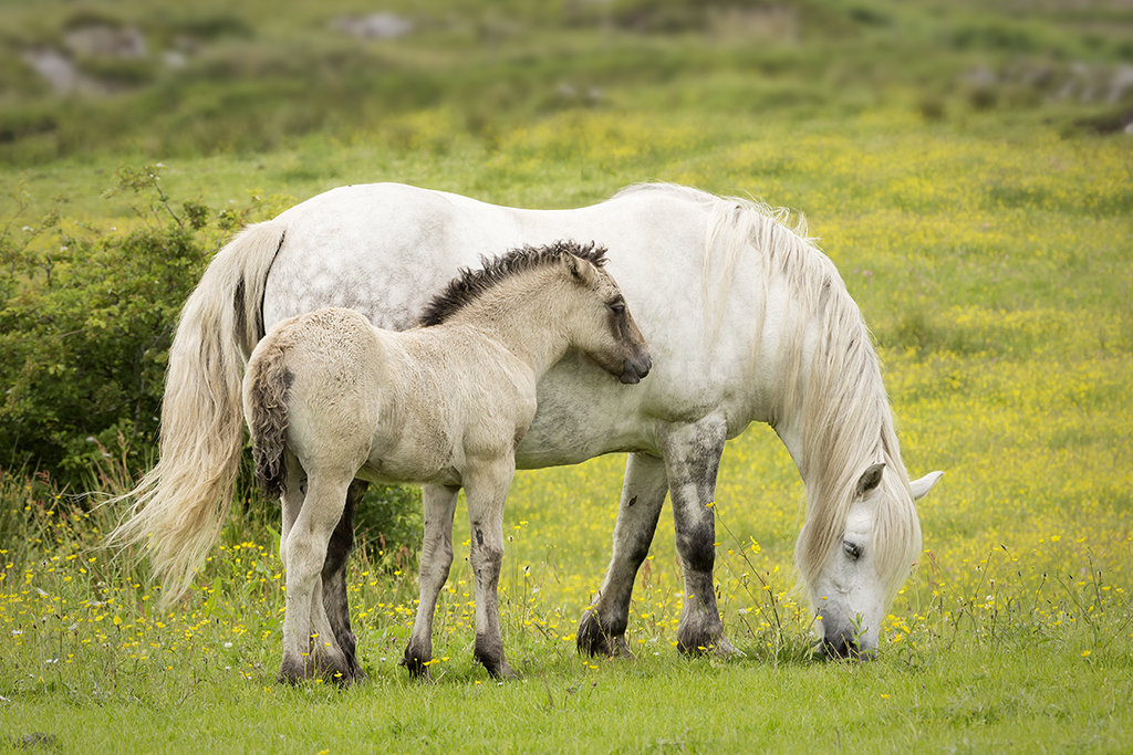 0452 Pony and Foal - Arisaig
