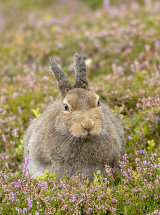 0855 Mountain Hare Cairngorms Scotland