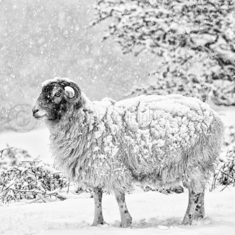 1044 Winter Woolly