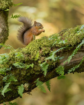 1067 Red Squirrel Loch Fyne Scotland