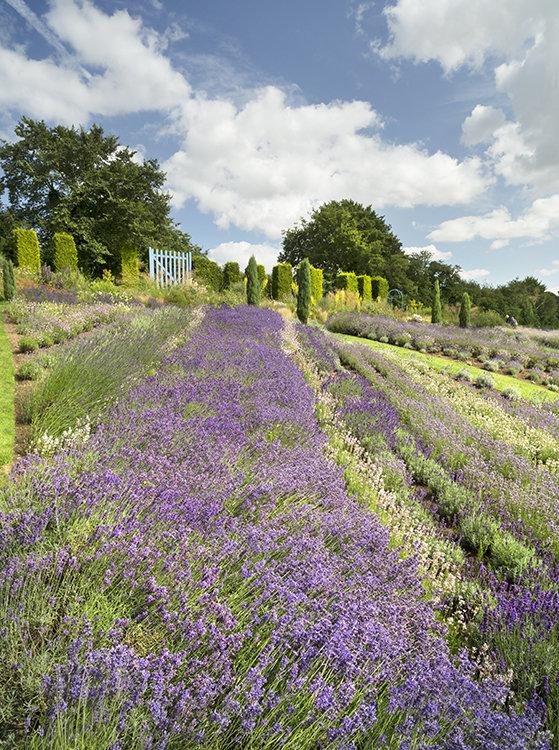 1337 Yorkshire Lavender