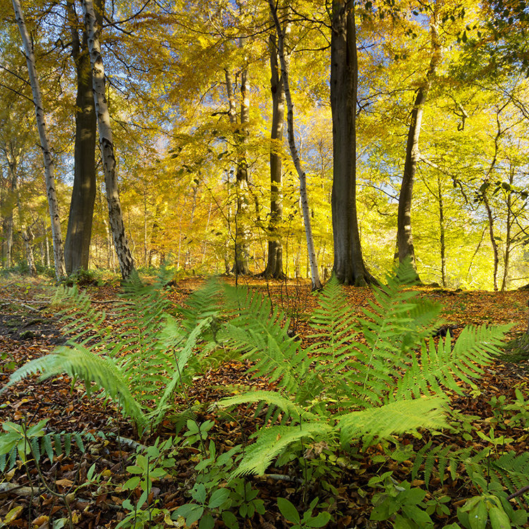 1386 Hovingham Wood Autumn Glory