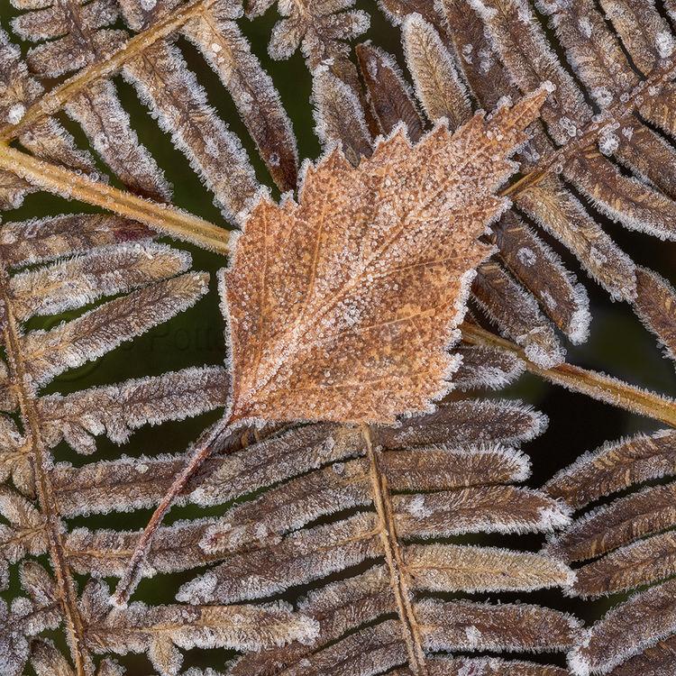 1554 Silver Birch Leaf